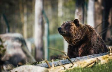 Braunbär im Wald