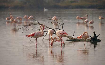 Flamingos in Naturschutzgebiet