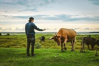 Aggressive Kuh attackiert Wanderer auf einer Weide