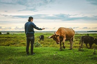 Mann nähert sich mit ausgestreckter Hand einer Kuh