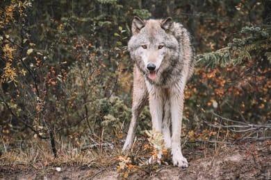 Wolf steht im Wald und schaut in die Kamera